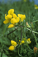 COMMON BIRD'S-FOOT-TREFOIL Lotus corniculatus (Fabaceae) Height to 10cm. Sprawling, solid-stemmed and usually hairless perennial. Found in grassy places. FLOWERS are red in bud but yellow and 15mm long when open; in heads on stalks to 8cm long (May-Sep). FRUITS are slender pods; splayed like a bird's foot when ripe. LEAVES have 5 leaflets but appear trifoliate (lower pair at stalk base).
