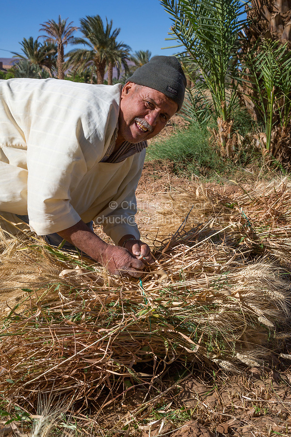 Draa River Valley, Morocco.  Berber Farmer Tying Harvested  Wheat into a Bale.