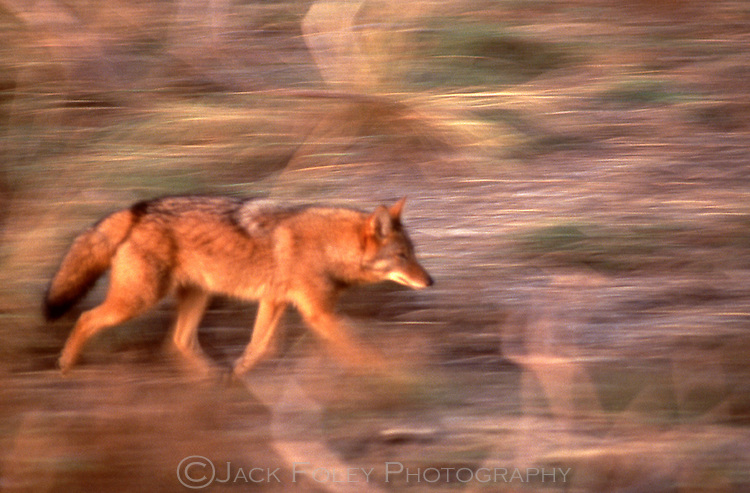 Coyote running through wetlands in the morning sun.