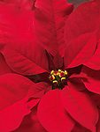 Closeup of Poinsettia - red Christmas flower leaves