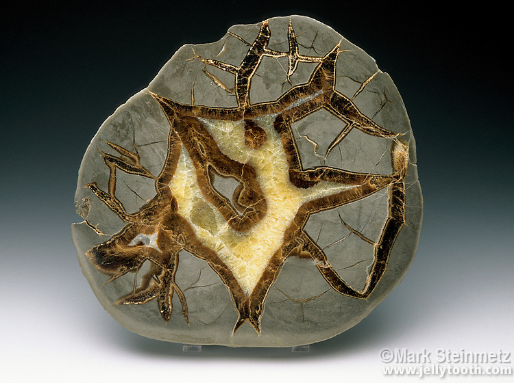 Polished cross section of a septarian nodule. Limestone/claystone with calcite crystals and aragonite (dark brown areas). Utah, USA. Mud concretions formed many millions of years ago from a receding ocean. Calcite from shells seeped through shrinkage cracks forming yellow crystals and a brown aragonite septum (from which the name is derived).