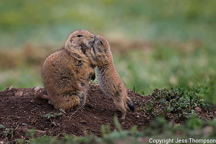 Immature Prairie Dog touches mother.