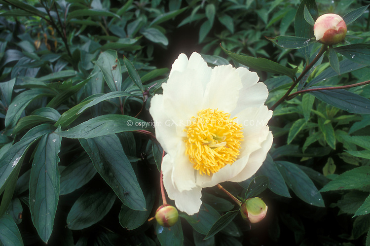 Paeonia lactiflora 'Whitleyi Major' in white flowers and buds, peony in bloom