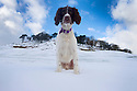 03/02/16 <br /> <br /> Fifteen-month-old springer spaniel, Chester, waits for a snowball to be thrown after overnight snowfall near Buxton in the Derbyshire Peak District.<br /> <br /> All Rights Reserved: F Stop Press Ltd. +44(0)1335 418365   +44 (0)7765 242650 www.fstoppress.com