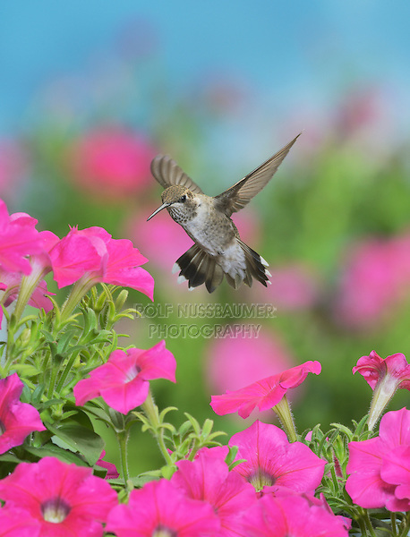 Ruby-throated Hummingbird (Archilochus colubris), young male in flight feeding on Petunia  flowers, Hill Country, Texas, USA