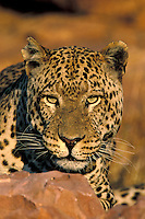 Leopard.Panthera pardus.