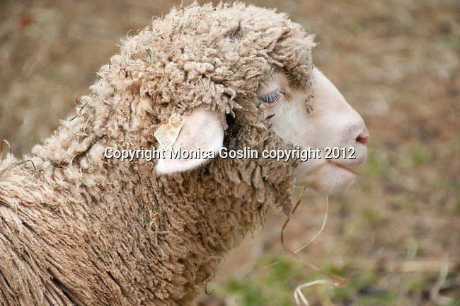 A sheep in Bryant Park in New York City for the Campaign for Wool, launched by HRH The Prince of Wales to promote the sustainable benefits of wool