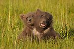 Brown bear cubs, Lake Clark National Park, Alaska, USA