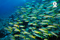 School of Lutjanus fishes, Red Sea, Egypt (Licence this image exclusively with Getty: http://www.gettyimages.com/detail/82406603 )