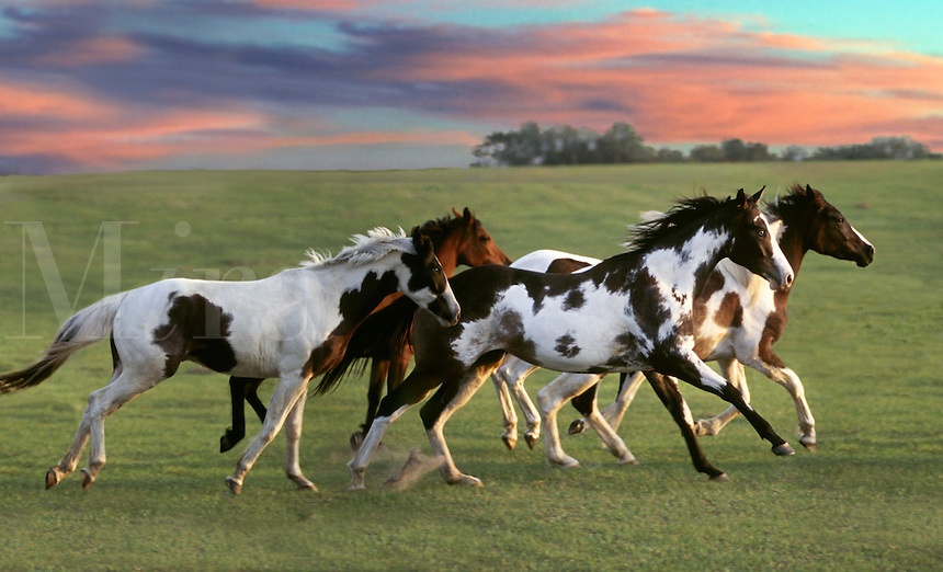 Herd of colorful American Paint Horse mares gallop across rise with colorful clouds.