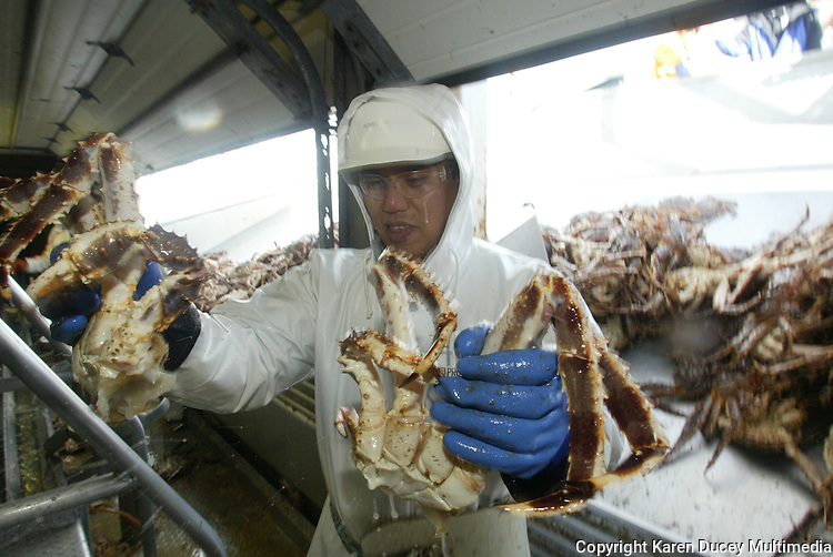 10/23/03 crab NWS::  Processor Romel Gante, originally from the Phillipines but now living in Hawaii, butchers a red king crab at the Unisea plant in Dutch Harbor, AK.  Working 12 hours a day during red king crab season Gante says he sends his money home to his family in the Phillipines but dreams of buying a house in Hawaii and the Phillipines someday.  Caught in Unisea employs about 1200 processors for a 5 month contract (on average) during its peak months in January and February.  The processors representing around 12 different countries, are supplied with airfare from Seattle, food, laundry service, meals, housing, and medical care from Unisea so they're cost of living is minimal and many are able to save their money.