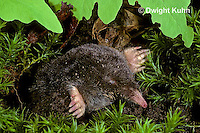 MB25-012z   Hairy-tailed Mole - digging - Parascalops breweri
