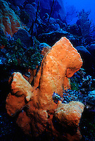 MARINE LIFE: REEFS<br /> Sponge on wall<br /> Sea sponges rely on maintaining a constant water flow through their bodies to obtain food (consisting mostly of plankton) and oxygen and to remove wastes.
