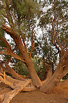 Israel, the northern Negev. Tamarisk trees by the Besor route