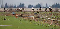 I've never seen so many bald eagles in both Skagit Valley and the flats of southwestern British Columbia.