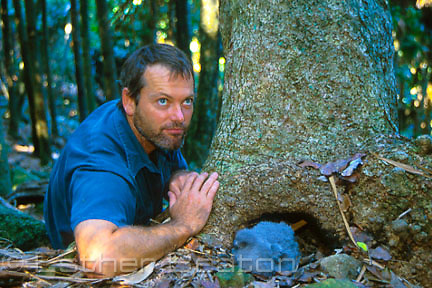 Scientist with Gould's Petrel (Pterodroma leucoptera) chick in front of nest in base of tree. Cabbage Tree Island, NSW.