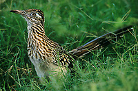 576010009 a wild greater roadrunner geococcyx californianus poses in tall grasses next to a pond on a private ranch in the rio grande valley of south texas