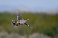 Scaled Quail in flight, Texas roadside near Marathon