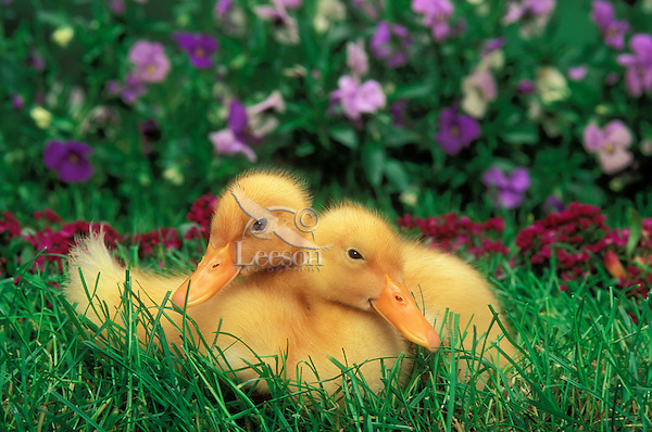 Farm Ducklings.