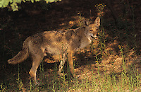 Coyote, Canis latrans, adult, Starr County, Rio Grande Valley, Texas, USA