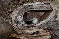 Hermelin, Großes Wiesel, Grosses Wiesel, guckt aus einer Baumhöhle, Astloch, Marderartiger, Marder, Mustela erminea, Stoat, Hermine