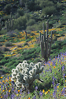 Teddy Bear Cholla Cactus (Opuntia bigelovii) Saguaro Cactus (Carnegiea gigantea) in field of Mexican Gold Poppy (Eschscholzia californica mexicana) and Desert Lupine (Lupinus sparsiflorus), Tonto National Forest, Bartlett Lake , Arizona, USA