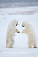01874-11903 Polar Bears (Ursus maritimus) sparring / fighting in snow, Churchill Wildlife Management Area, Churchill, MB Canada
