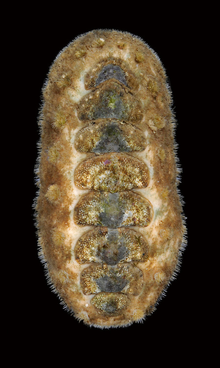 Acanthochitona crinitus