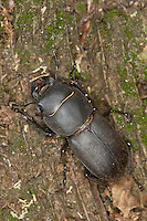 Balkenschröter, Balkenschroeter, Dorcus parallelipipedus, Dorcus parallelopipedus, lesser stag beetle