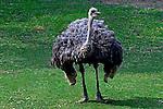 Animais. Aves. Avestruz (Struthio camelus) no Zoologicol. SP. Foto de Juca Martins.