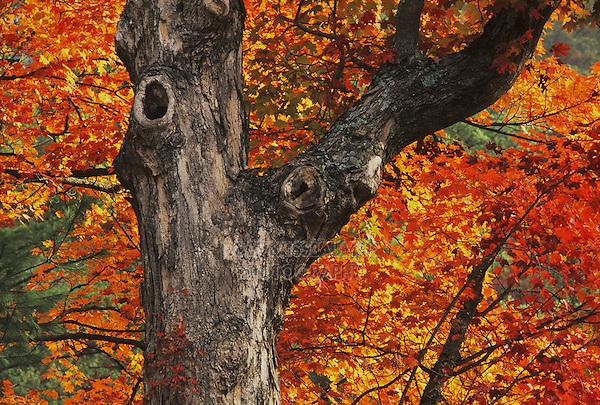 Sugar maple (Acer saccharum), trunk and fall foliage, Raleigh, Wake County, North Carolina, USA