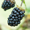 Blackberries and hybrid berries