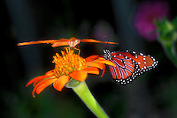346200013  captive julia dryas julia and queen butterflies danus glippus share a wildflower in a butterfly garden in southern california