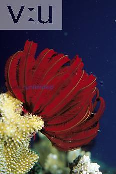 Crinoid: crinoids are echinoderms. Indo-Pacific