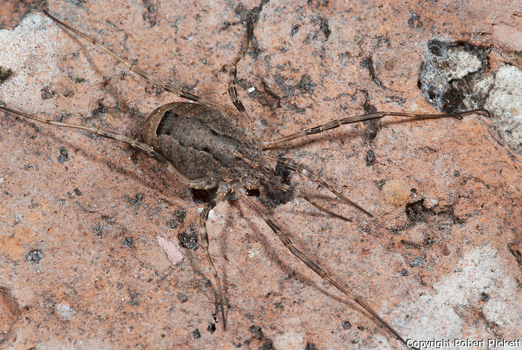 Harvestman, Phalangium opilio, hiding on house brick in garden, closely related to spiders, long legs, one piece body