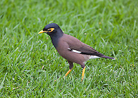 Common Myna, Botanical Gardens, Sydney