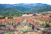 Mont Tauch Cave Cooperative co-operative In Tuchan. Fitou. Languedoc. Old, gnarled and twisting vine. France. Europe. Vineyard. Mountains in the background.