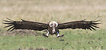 """Pictured: A vulture spreads its wings and prepares for landing at the Masai Mara National Park in Kenya.<br /> <br /> Photographer Kurt Mueller captured this amazing sight, thought to be the worlds highest flying bird with a wingspan of over 2 metres, as it appears to be flying straight at the camera.<br /> <br /> Kurt said, """"I was perfectly positioned to capture their approach to land.  Like an aircaft, they touch down without absorbing the full impact at once, often hopping three or four times before grounding.""""<br /> <br /> Please byline: Kurt Mueller/Solent News<br /> <br /> © Kurt Mueller/Solent News & Photo Agency<br /> UK +44 (0) 2380 458800"""
