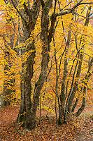 European Beech Trees in Scotland