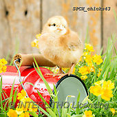 Xavier, EASTER, OSTERN, PASCUA, photos+++++,SPCHCHICKS43,#e#, EVERYDAY ,chicken