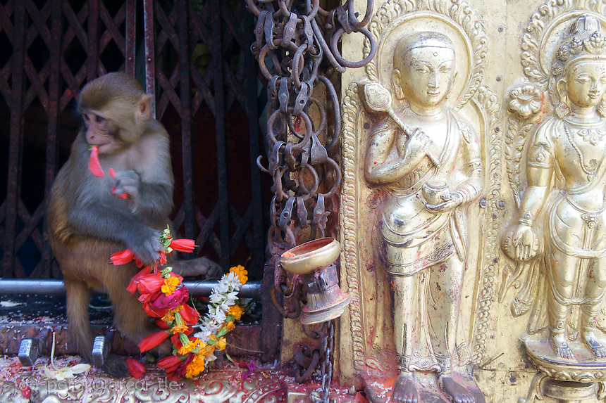 monkey with flowers at golden relief on lower part of stupa, buddhist temple Swayambhu in Kathmandu, Nepal, September 2011.This temple is also called monkey temple.