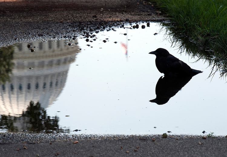 UNITED STATES - AUGUST 5: This American Crow escapes the heat by sitting in a pool of water in the Upper Senate Park near the U.S. Capitol on August 5, 2010..(Photo By Douglas Graham/Roll Call via Getty Images)