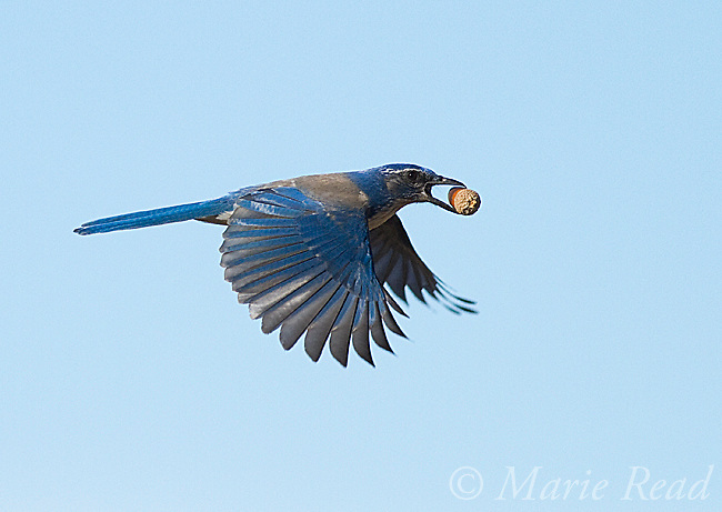 Western Scrub-Jay (Aphelocoma californica ) carrying an acorn in flight, Mt Diablo State Park, California, USA