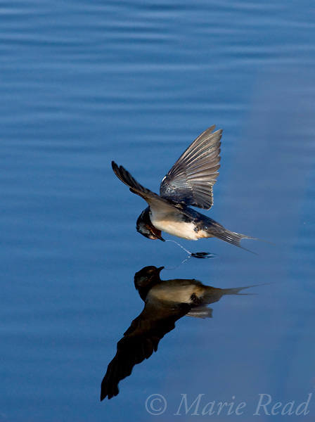 Barn Swallow (Hirundo rustica) foraging from water's surface, Montezuma National Wildlife Refuge, New York, USA