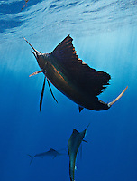 qh1190-Dv. Atlantic Sailfish (Istiophorus albicans). Some consider this the same species as the Indo-Pacific Sailfish (I. platypterus). Mexico, Gulf of Mexico..Photo Copyright © Brandon Cole. All rights reserved worldwide.  www.brandoncole.com..This photo is NOT free. It is NOT in the public domain. This photo is a Copyrighted Work, registered with the US Copyright Office. .Rights to reproduction of photograph granted only upon payment in full of agreed upon licensing fee. Any use of this photo prior to such payment is an infringement of copyright and punishable by fines up to  $150,000 USD...Brandon Cole.MARINE PHOTOGRAPHY.http://www.brandoncole.com.email: brandoncole@msn.com.4917 N. Boeing Rd..Spokane Valley, WA  99206  USA.tel: 509-535-3489