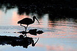 A silhouetted Glossy Ibis wades in the pink & blue pastel sunset.