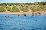 Elephant Family Going for a Swim in the Chobe River in Botswana
