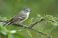 Blue-headed Vireo - Vireo solitarius - Adult