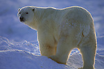Portrait of a polar bear standing on the arctic snow in Hudson Bay, Manitoba, Canada.