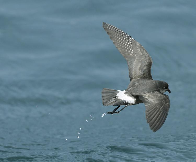 European Storm Petrel - Hydrobates pelagicus